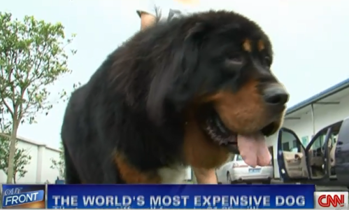 Most expensive dog in the world is a tibetan mastiff