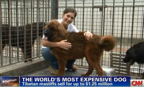 Puppy Mastiff $32,000